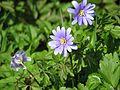 Anemone apennina - Flickr - peganum (1).jpg