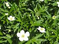 Anemone canadensis OB30.jpg