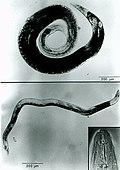 Anguina-agrostis.jpg
