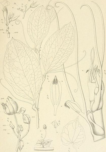File:Annales du Jardin botanique de Buitenzorg (17788210833).jpg