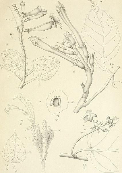 File:Annales du Jardin botanique de Buitenzorg (18221073198).jpg