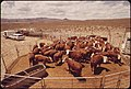 Annual-spring-roundup-of-cattle-raised-on-experimental-farm-operated-by-epas-las-vegas-national-research-center-may-1972 7136557417 o.jpg