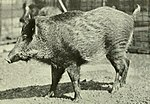 Rapporto annuale - New York Zoological Society (1920) (Sus scrofa algira) .jpg
