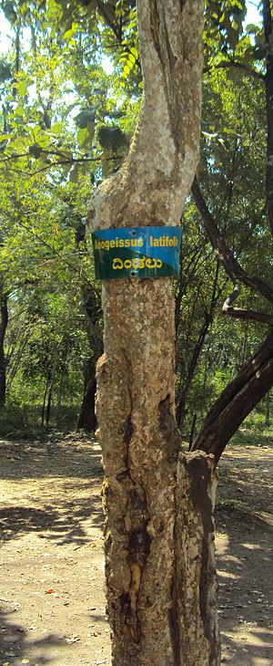 Anogeissus latifolia - Bark of Anogeissus latifolia