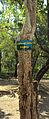 Anogeissus latifolia bark.jpg