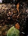 Anomaloglossus degranvillei02.jpg
