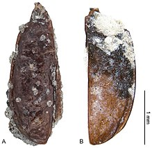 Antarctotrechus balli.jpg