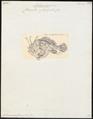 Antennarius furcipilis - 1700-1880 - Print - Iconographia Zoologica - Special Collections University of Amsterdam - UBA01 IZ13600199.tif