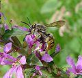 Anthidium sp. ( A. manicatum^) .Hymenoptera. Megachilidae. - Flickr - gailhampshire.jpg