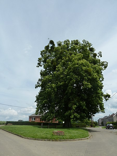 Spijkerlinde van Floxhes, Les Floxhes, Anthisnes, België