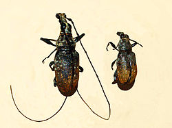 Anthribidae - Mecocerus wallacei.JPG
