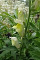 Antirrhinum braun-blanquetii kz03.jpg