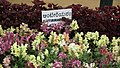 Antirrhinum from Lalbagh flower show Aug 2013 8387.JPG
