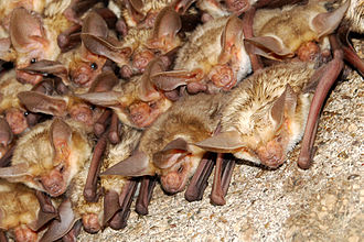 Pallid bat - A colony of roosting A. pallidus at Madera Canyon, Santa Rita Mountains, southeastern Arizona