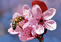 Apis mellifera on prunus cerasifera 01 25042009.jpg