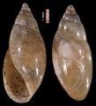 Aplexa hypnorum.png
