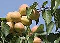 Apricot fruits on tree, Niğde 2017-08-05 01-2.jpg
