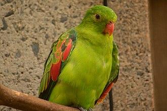 Red-winged parrot - Image: Aprosmictus erythropterus Honolulu Zoo, Hawaii, USA 8a