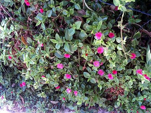 Aptenia cordifolia Habitus TorrelaMata