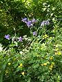 Aquilegia vulgaris sl1.jpg