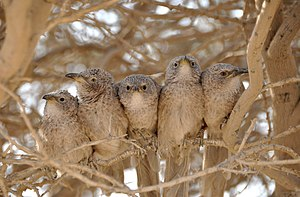 Amotz Zahavi - A social group of Arabian babblers