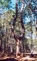Arbol la lira Sierra de Quila.tif
