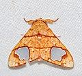 Arctiid Moth (Zatrephes trailii) (39636123474).jpg