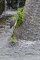 Ardea cinerea in Aveyron 01.jpg