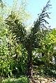 Arenga pinnata - Naples Botanical Garden - Naples, Florida - DSC09795.jpg