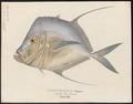 Argyreiosus vomer - 1700-1880 - Print - Iconographia Zoologica - Special Collections University of Amsterdam - UBA01 IZ13500425.tif