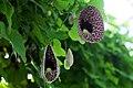 Aristolochia elegans in Botanical Garden of V.L. Komarov Botanical Institute (Saint Petersburg).jpg