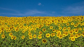 Arkaia - Girasoles -BT- 04.jpg