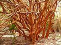 Arrayan luma apiculata.jpg