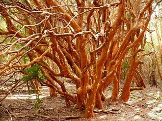 Temuco - Luma apiculata