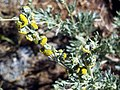 Artemisia alba ssp nevadensis StemandFlowers.jpg