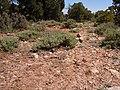 Artemisia arbuscula 001 — Matt Lavin.jpg