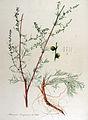 Artemisia campestris — Flora Batava — Volume v13.jpg