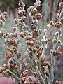 Artemisia tridentata spiciformis (7832390144).jpg