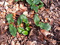 Arum maculatum dotted leaves.jpg