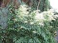Aruncus dioicus002.jpg