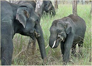 Nature photography - Indian elephants at Mudumalai National Park, India