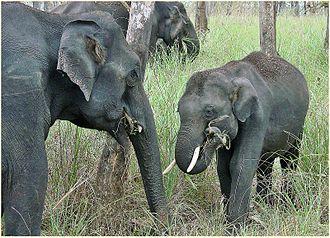 Nature photography - Indian elephants at Mudumalai National Park, India