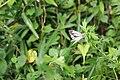 Asian Green-veined White (Pieris melete) (29838484760).jpg