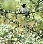 Asian Paradise Flycatcher- Male at Himachal I2 IMG 2939.jpg