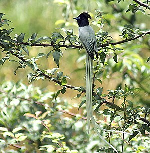 Himachal Pradesh - Asian paradise flycatcher in Kullu