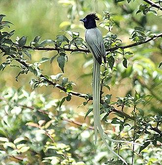 Himachal Pradesh - Asian paradise flycatcher in Kullu