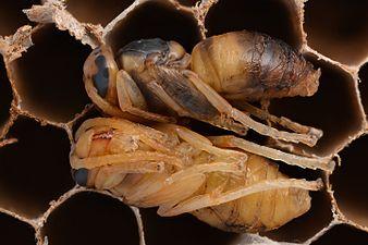 Asian hornet pupae (33283897383) (2).jpg