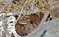 Asp Viper (Vipera aspis) female (found by Jean NICOLAS) (34891266384).jpg