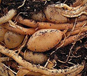 Asparagus aethiopicus - Image: Asparagus densiflorus 19