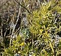 Asparagus macrorrhizus0500 03.jpg